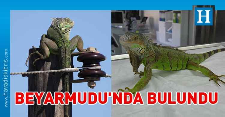 Beyarmudu iguana