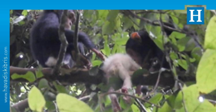 şempanzearaştırmacıları